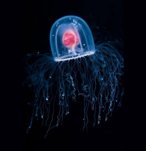 The 'Immortal Jellyfish' does not have the immortality you ...